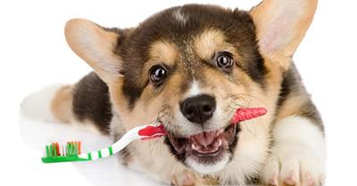 dental pets